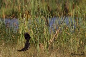 Long tailed widow